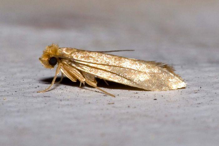 Webbing Moth photo by Echte Kleidermotte