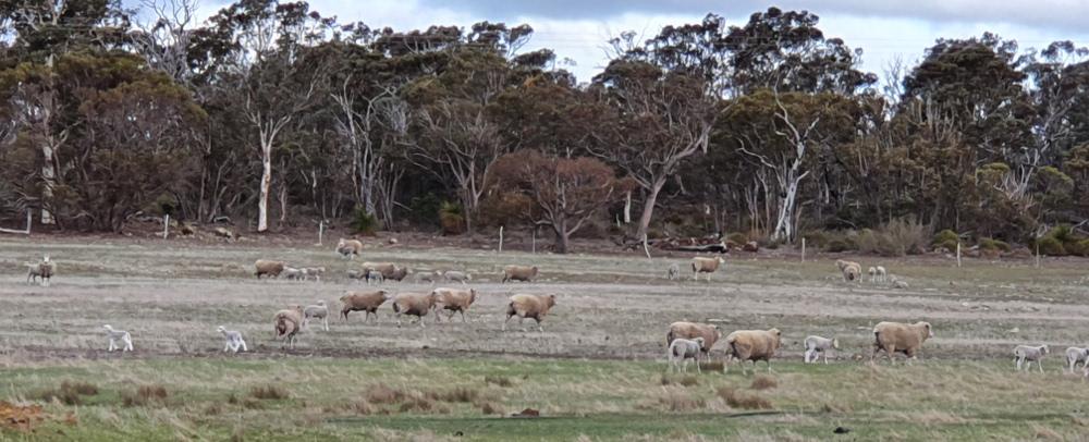 sheepflock.GreatSouthern